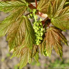 New leaves and flowers on Sycamore