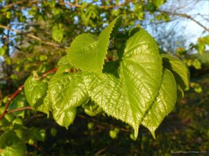 Leaves of Common Lime