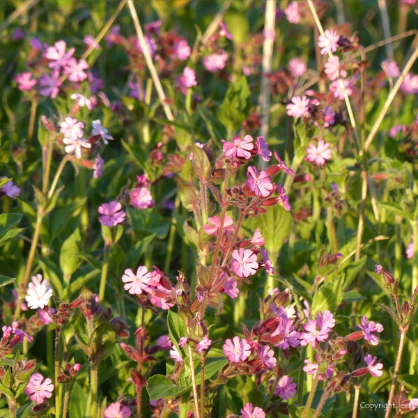 Red Campion flowers in evening sunlight