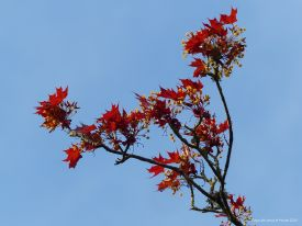 Opening flowers and leaves on a tree in spring