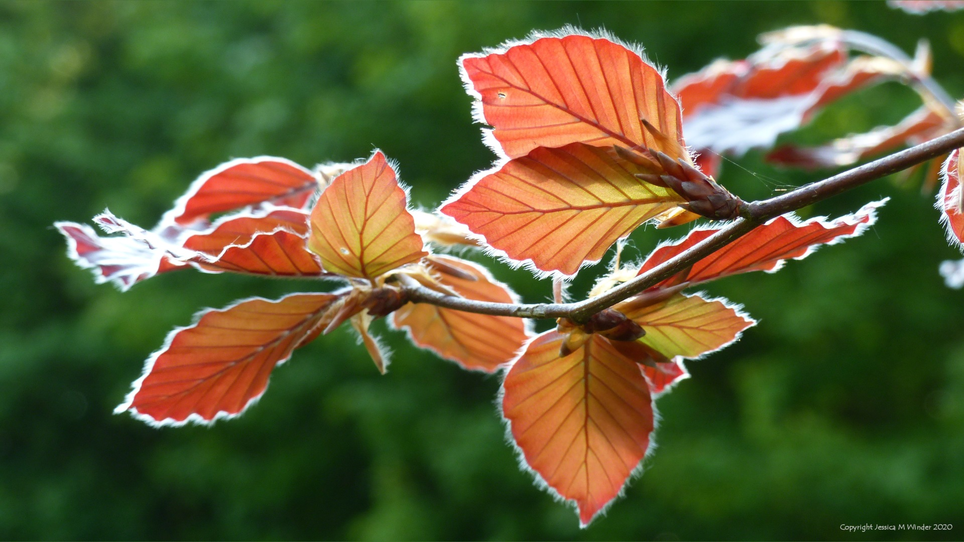 Copper Beech leaves