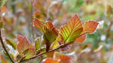 Copper Beech leaves