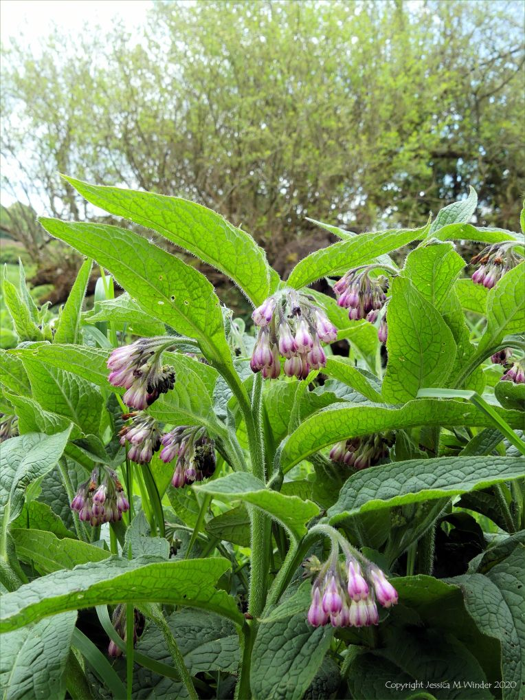 Wild Comfrey on the riverbank