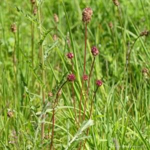 Salad Burnet flowers