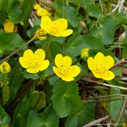 Marsh Marigolds or King Cups
