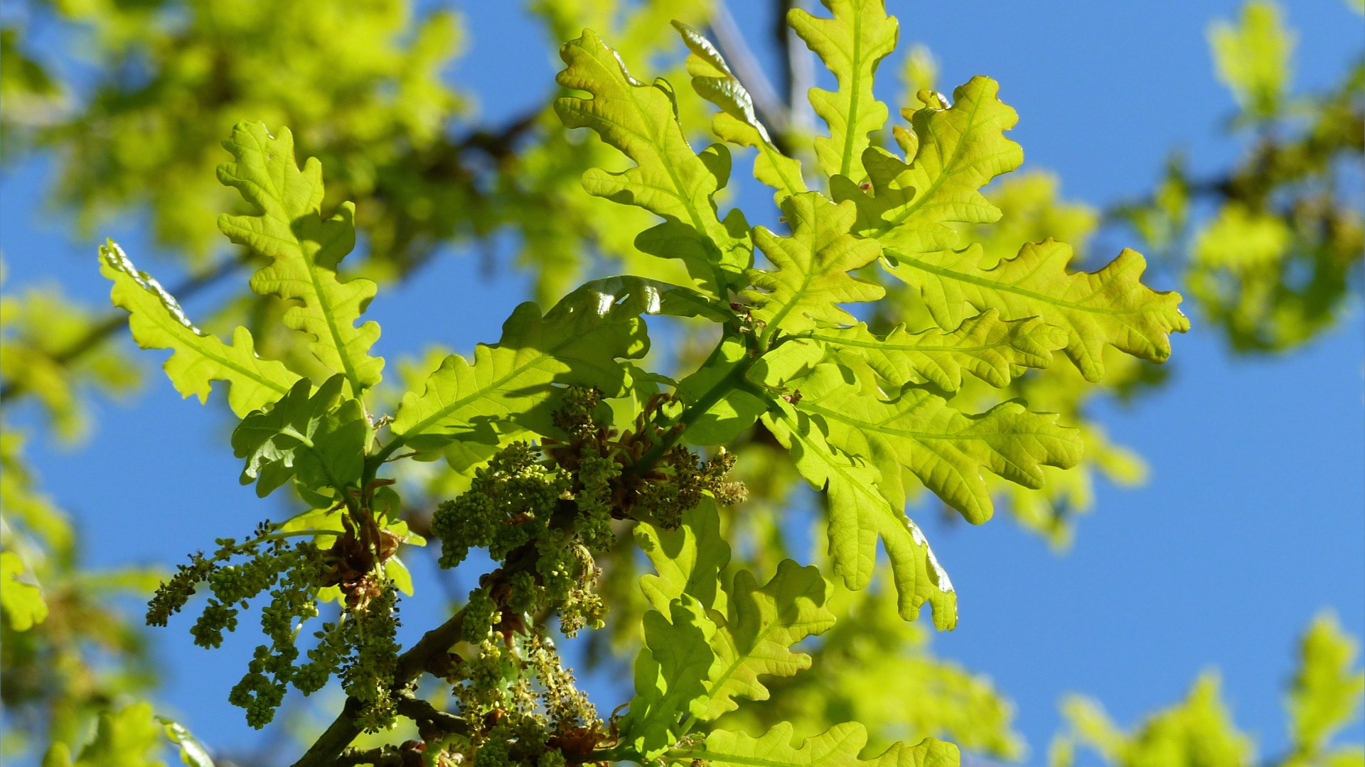 Newly opened oak tree leaves and flowers