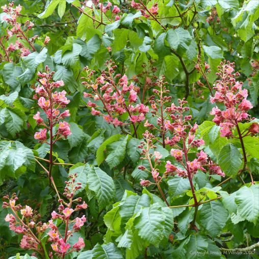 Flowers of the Indian Horse Chestnut tree