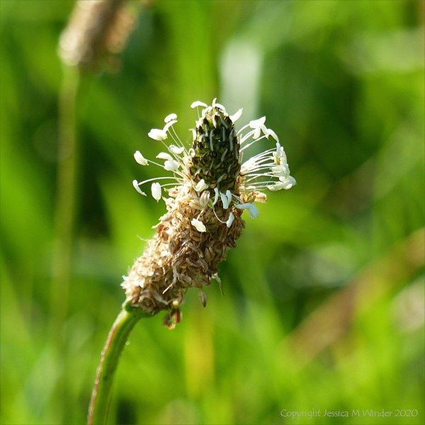 Ribwort Plantain in flower