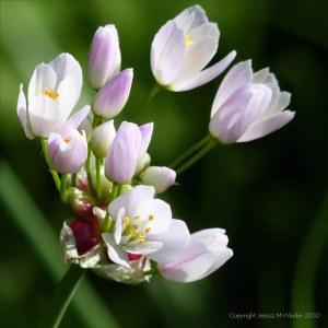 Rosy Garlic
