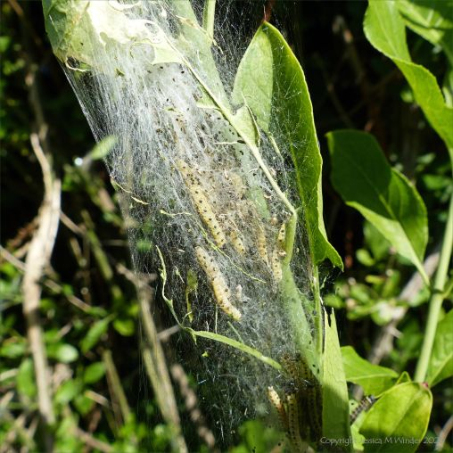 Cobwebs with ermine moth caterpillars