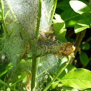 Cobwebs with ermine moth caterpillars