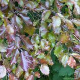 Copper beech leaves in Charlton Down Nature Area