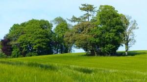 Barley field in Charlton Down