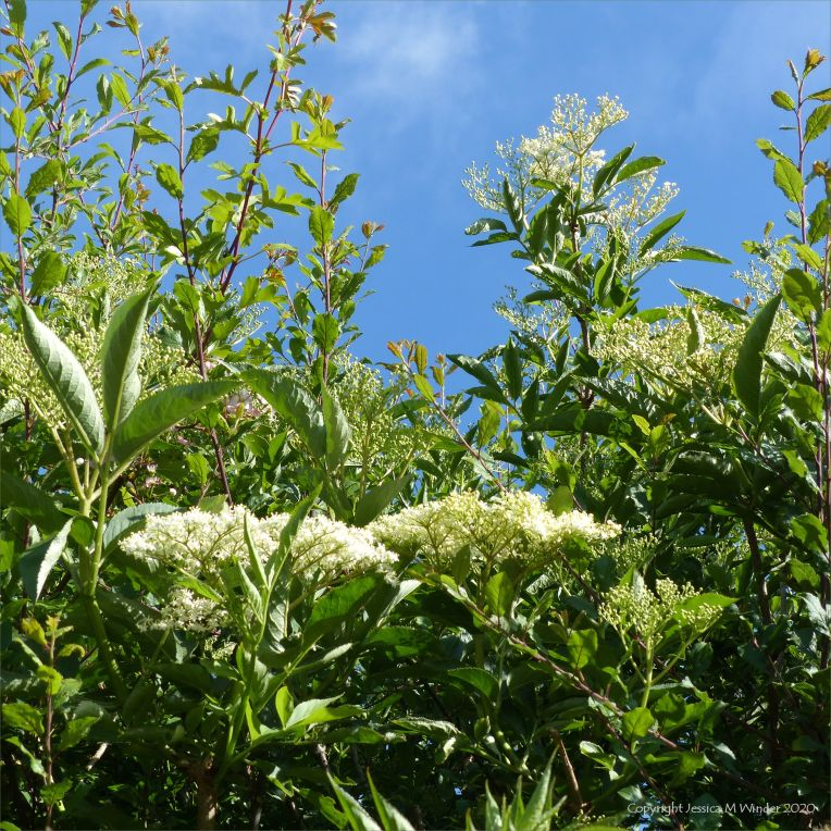 Elder flowers in a hedgerow