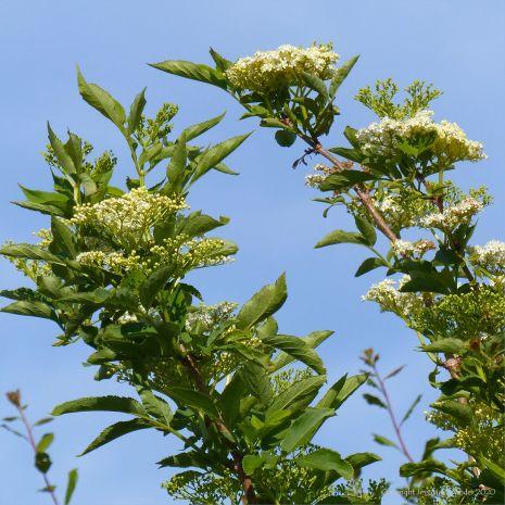 Elder flowers in a hedgerow