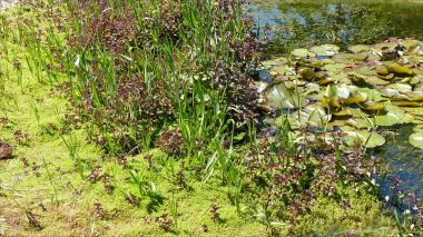 Plants in the village pond