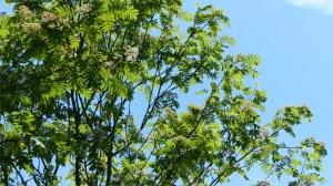 Mountain Ash or Rowan trees