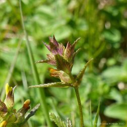 Wild Yellow Rattle flowers