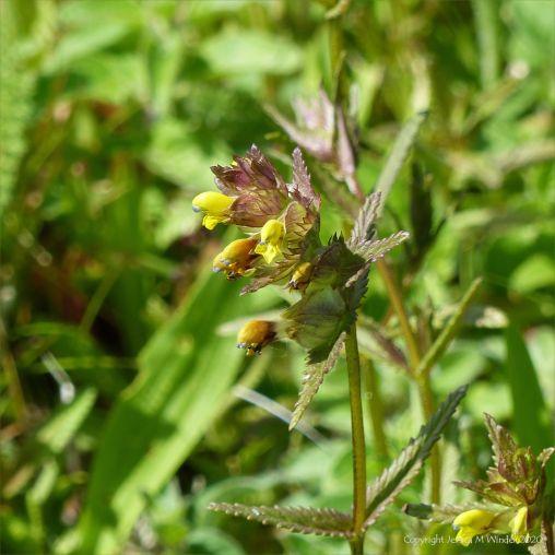 Wild Yellow Rattle flowers