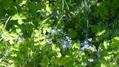 Blue speedwell in the undergrowth