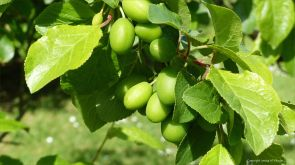Young plums on the tree