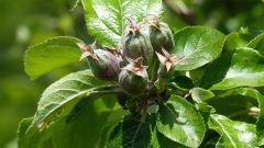 Apples growing in spring