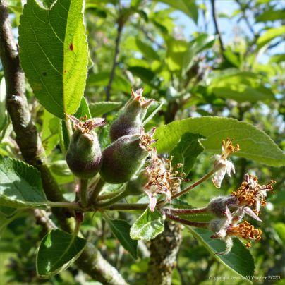 Apples developing in spring