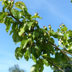 Young pears growing in spring
