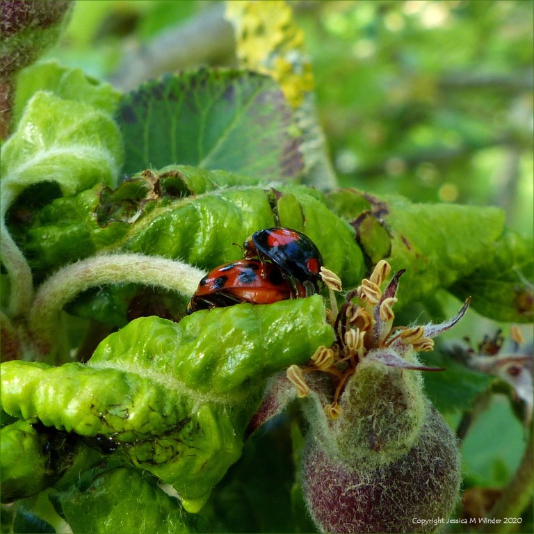 Ladybirds mating on an apple tree infested with aphids