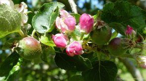 Apples and blossom growing in spring