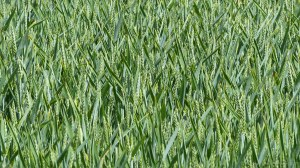 Close-up of green wheat growing