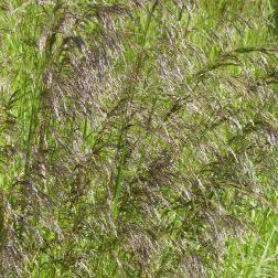 Tall flowering grasses