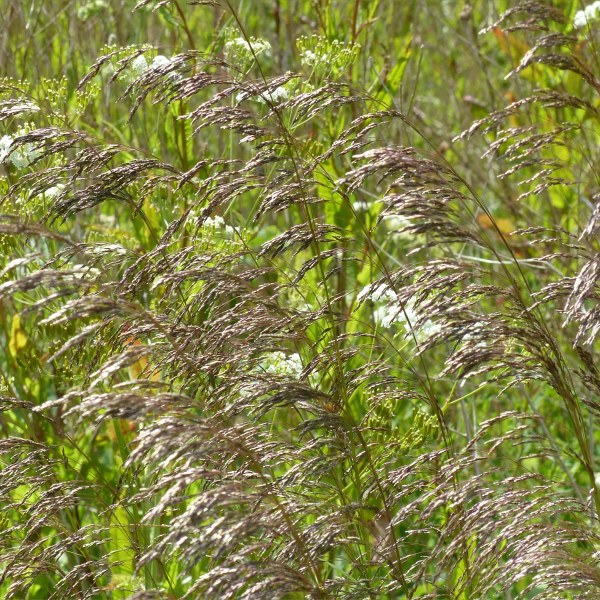Tall flowering grasses