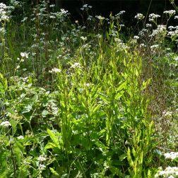 Meadow vegetation