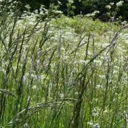 Meadow grasses at Charlton Down