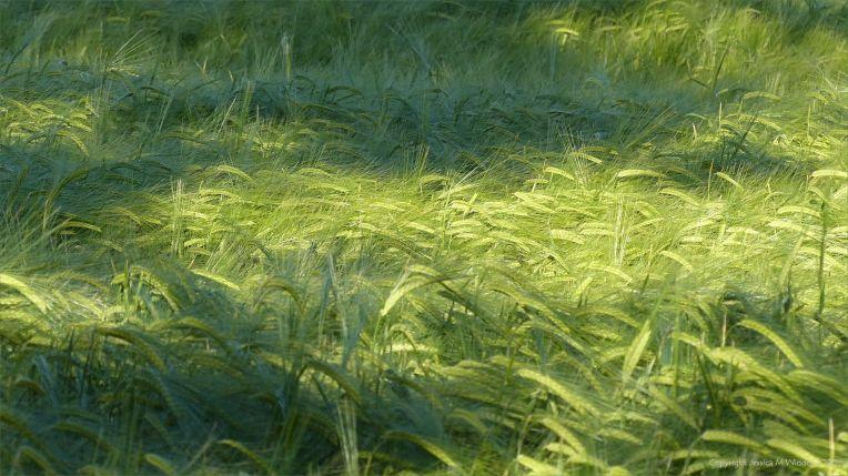 Growing barley crop in evening light