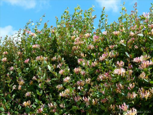 Honeysuckle hedgerow