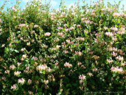Honeysuckle hedgerow