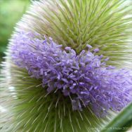 Band of flowers on wild teasel