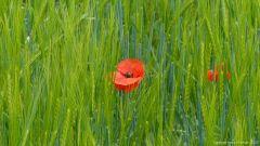 Common Poppy flowers