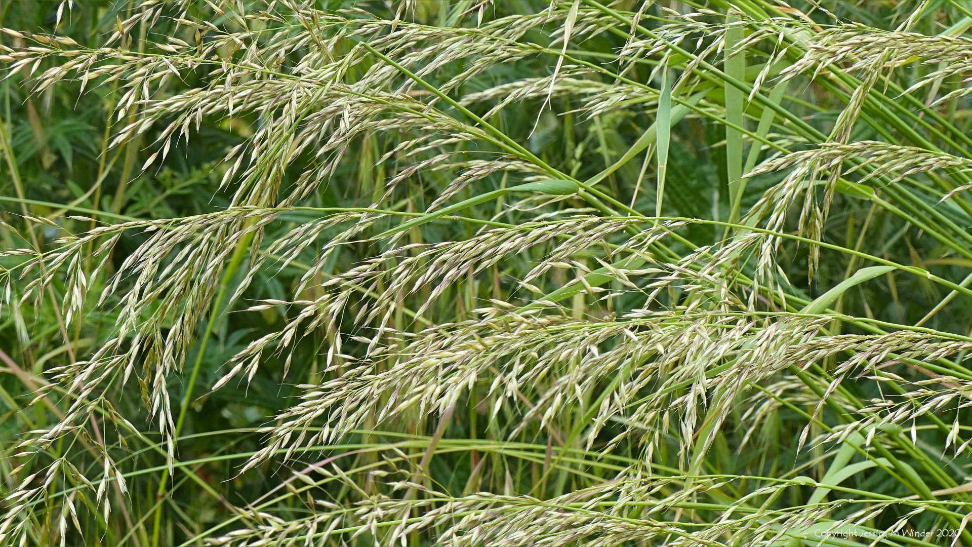 Wild flowering summer grasses in a Dorset field