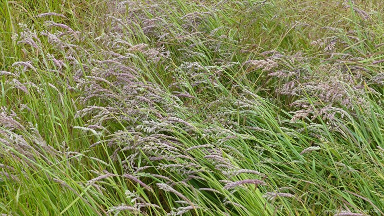 Summer grasses flowering in the field