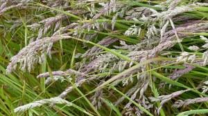 Summer grasses flowering in the field
