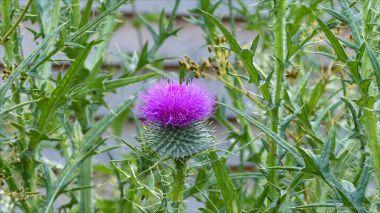 Thisltle flower