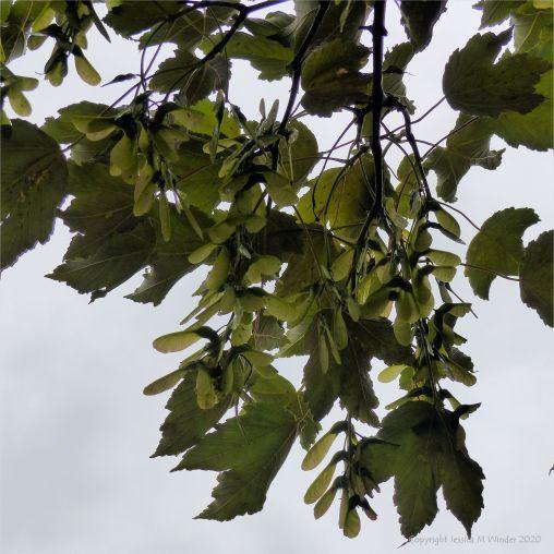 Key fruits on a maple tree