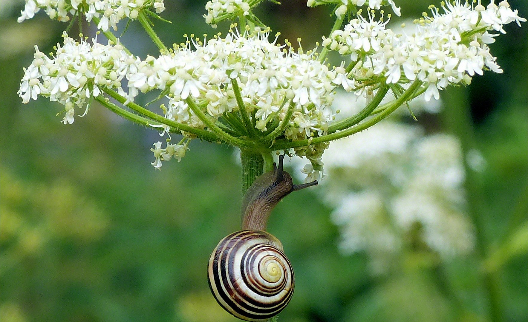 Banded snail on flower stalk
