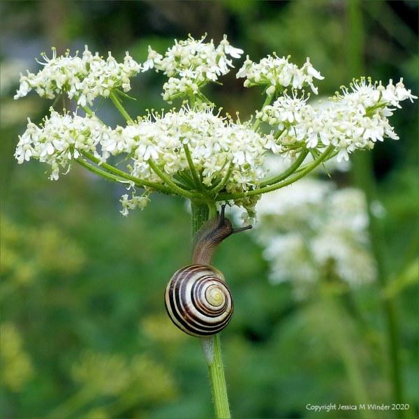 Banded snail on flower stalk