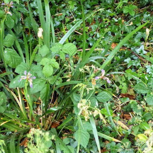 Stinking Iris flowers in the undergrowth