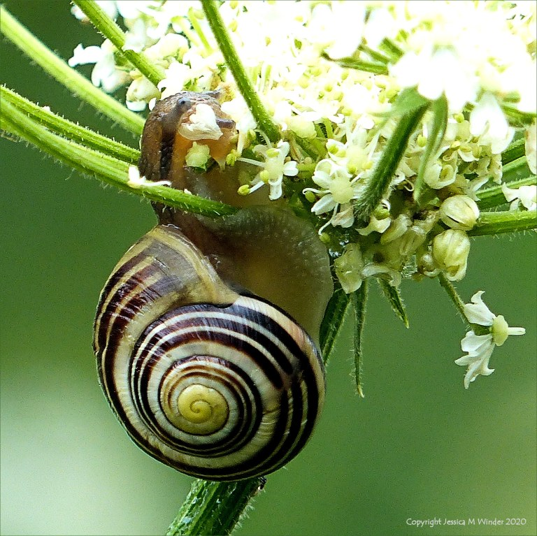 Banded snail eating flowers