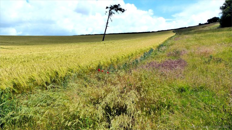 Dorset countryside with ripening barley